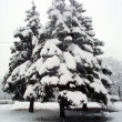 Snow-covered fir tree — Stock fotografie