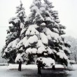 Snow-covered fir tree — Stock Photo