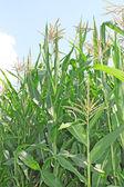 Corn field under sky — Stock Photo