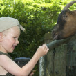 Feeding The Goat — Stock Photo