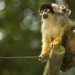 Mom And Baby Squirrel Monkeys — Stock Photo