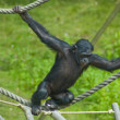 Stock Photo: Swinging ape