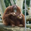 Stock Photo: Eating Orang Oetan