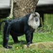 Cool Saki Ape — Stock Photo #5919314