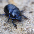 Blue Bloody-nosed Beetle - Stock Photo