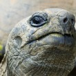 Cocky giant tortois — Stock Photo