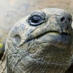 kaxig jätte tortois — Stockfoto