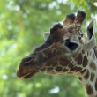 Curious Giraffe - Lizenzfreies Foto