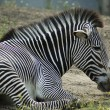 Relaxing Zebra - Stock Photo