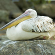 Stock Photo: Sleeping pelican