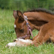 Resting foal — Stock Photo