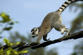 Climbing Lemur Catta — Stock Photo