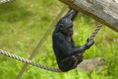 Spielen Affe — Stockfoto