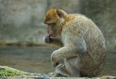 Resting Berber Ape — Stock Photo