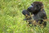 Gorilla Playing With Grass — Stock Photo