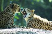 ライオンのカップル — ストック写真