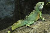 Posing Lizard — Stock Photo