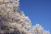 Träd med rimfrost — Stockfoto