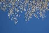 Träd kvistar med rimfrost — Stockfoto
