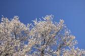 Hoarfrosty träd kvistar — Stockfoto