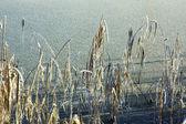 Frysta sockerrör och sjön — Stockfoto