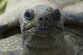 Giant tortois — Stock Photo