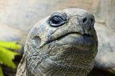 Cocky giant tortois — Stock Photo