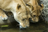 Two drinking lionesses — Stock Photo