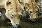 Two drinking Lionesses -2 — Foto de Stock