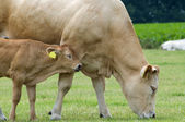 婴儿与母亲的母牛 — 图库照片