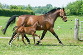 Mare and foal running — Stock Photo