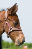 Dreamy foal — Stock Photo