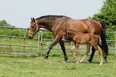 Mare and foal in the field — Stock Photo