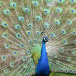 Colorful Peacock — Stock Photo #5996650