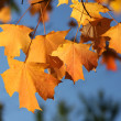 Maple leaves — Stock Photo #5936307