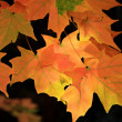Maple leaves — Stock Photo #5936317