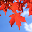 Red maple leaves — Stock Photo