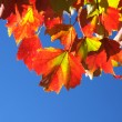 Maple leaves — Stock Photo #5936915