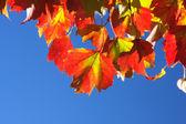 Maple leaves — Stok fotoğraf