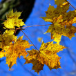 Autumn maple leaves — Stock Photo #5955234