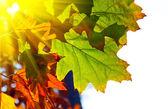 Foglie di autunno rovere — Foto Stock