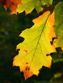 Autumn oak leaves — Stock Photo