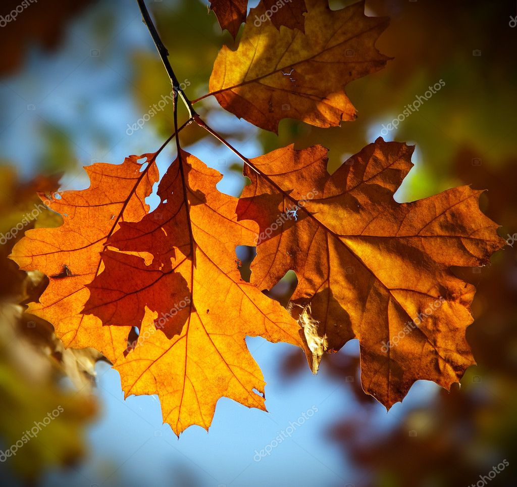 Multicolored autumn oak leaves over blue background — Stock Photo #5950477