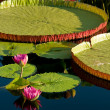 Waterlily — Stock Photo #6003903