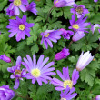 Stock Photo: Anemone flower