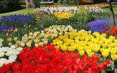 Flower bed in Keukenhof gardens — Stock Photo