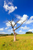 Old dead tree on a meadow — Stock Photo