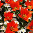 Natural backgrounds: tulips - Stockfoto