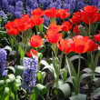 Flower bed in Keukenhof gardens — Stock Photo