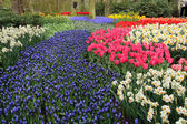 Flower bed in Keukenhof gardens — Foto Stock